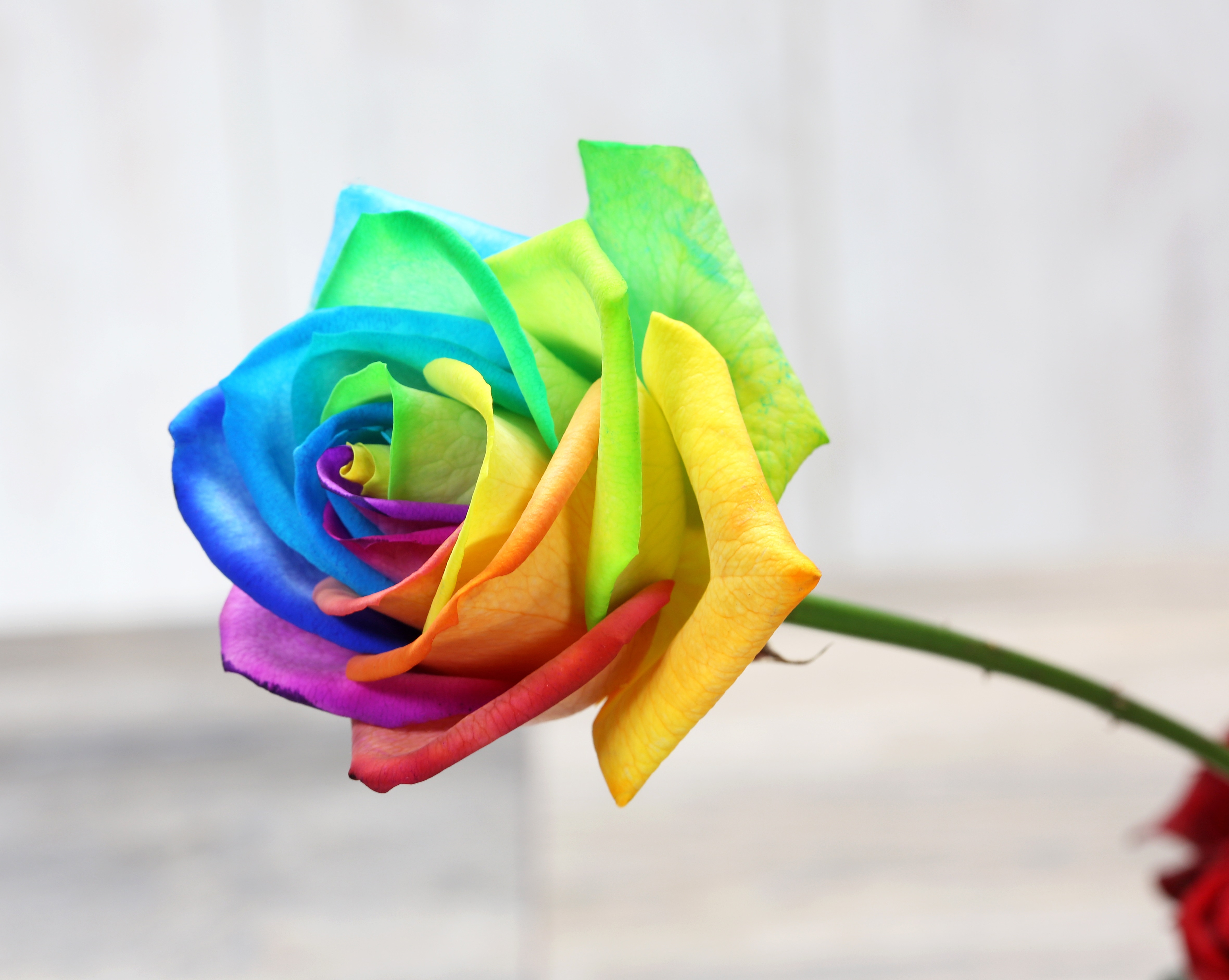 Celebrating Equality With The Rainbow Rose Our Tesco